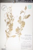 Rorippa palustris subsp. fernaldiana image