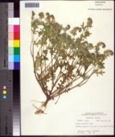 Image of Phacelia gilioides
