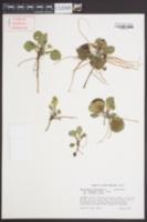 Chrysogonum virginianum image