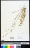Image of Aristida geniculata