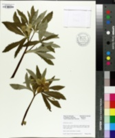 Helleborus viridis image