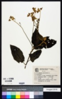 Image of Solanum paniculatum