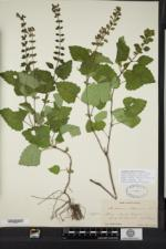 Image of Scutellaria altissima