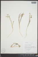 Claytonia virginica image