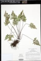 Aspidotis carlotta-halliae image
