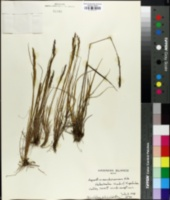 Image of Agrostis sandwicensis