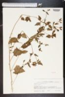 Image of Mentzelia floridana