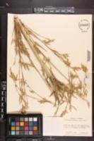 Image of Phyllostachys sulphurea