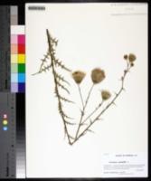 Cirsium nuttallii image