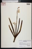 Leucojum vernum image
