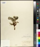 Image of Potentilla villosa