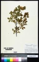 Rosa acicularis var. bourgeauiana image