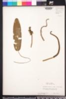 Aponogeton natans image