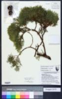 Cupressus sempervirens image