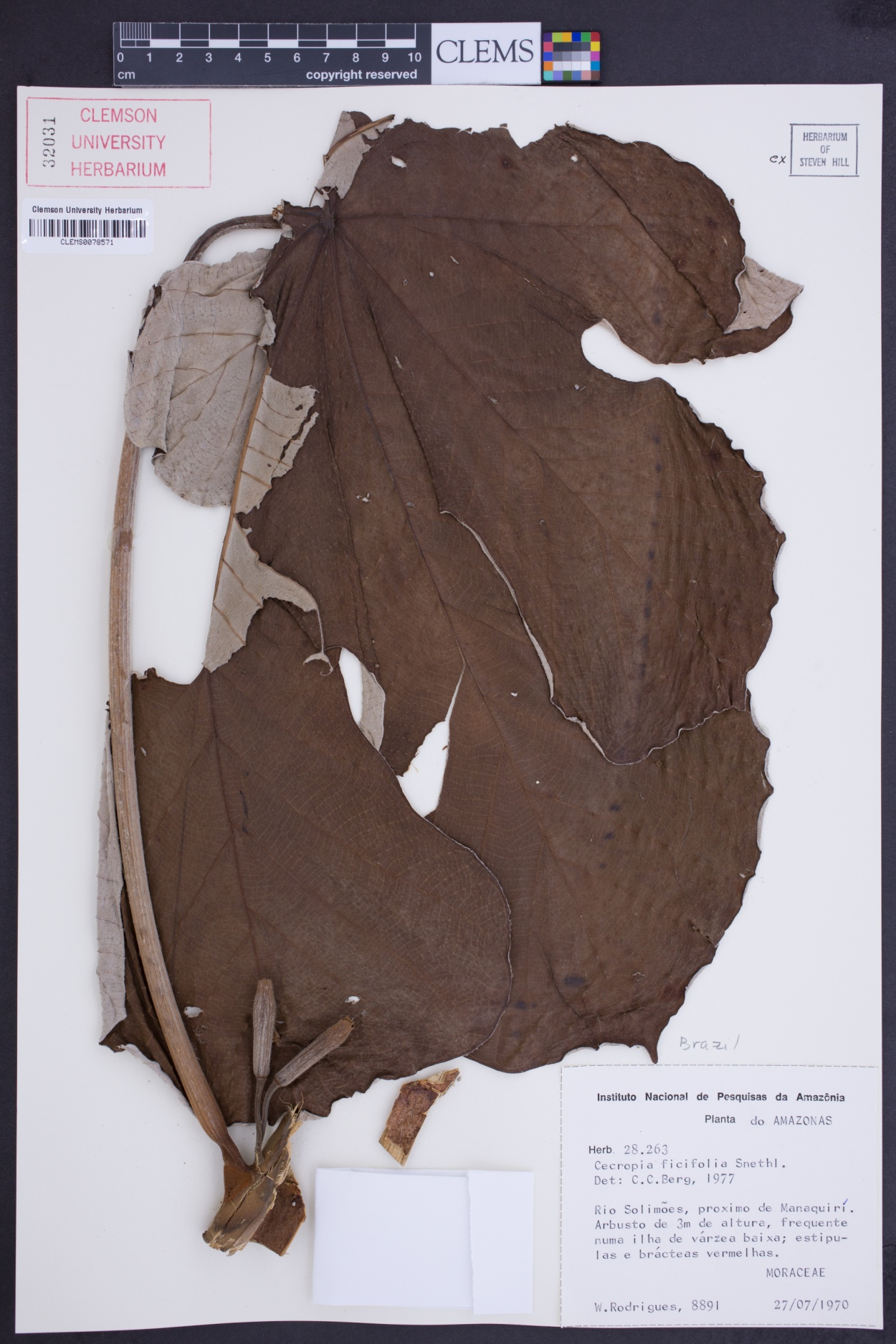Cecropia ficifolia image