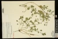 Pediomelum rhombifolium image
