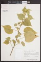 Image of Allowissadula lozanii