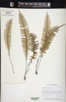 Image of Lindsaea divergens
