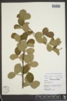 Image of Rubus serissimus