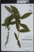 Image of Stachys iltisii