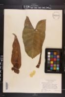 Image of Xanthosoma robustum