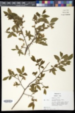 Image of Vaccinium brittonii
