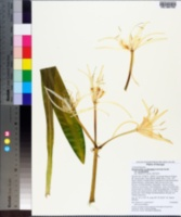Hymenocallis occidentalis image