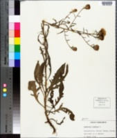 Centaurea scabiosa image