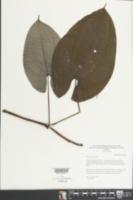 Dioscorea alata image