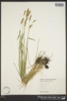 Hordeum brachyantherum image
