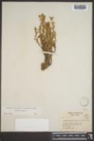 Orobanche ramosa image