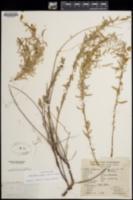Calylophus toumeyi image