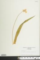 Allium moly image