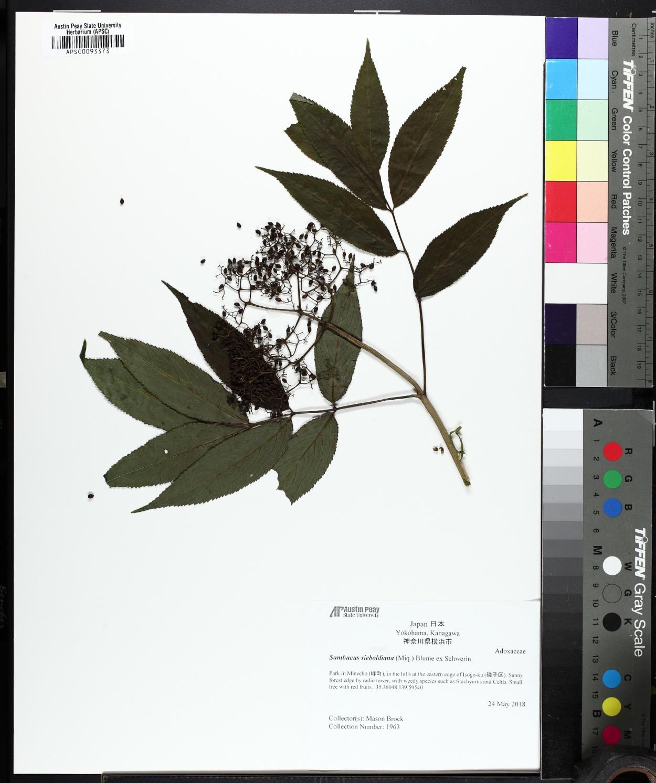 Sambucus sieboldiana image