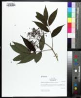 Image of Sambucus sieboldiana