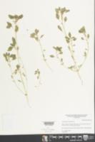 Amaranthus polygonoides image
