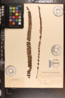 Image of Lomaria fluviatilis