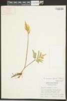Botrychium biternatum image