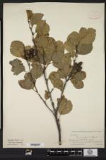 Alnus glutinosa image