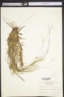 Dichanthelium sabulorum image