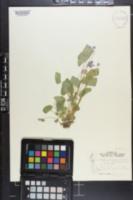 Image of Viola x cordifolia