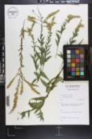 Solidago ulmifolia var. microphylla image