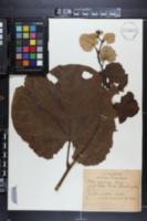 Tilia venulosa image