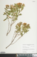 Image of Hypericum densiflorum