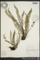 Asplenium heterochroum image