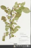 Malus floribunda image