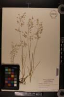 Eragrostis unioloides image