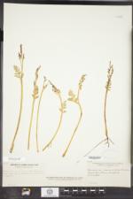 Botrychium matricariifolium image