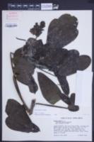 Senna alata image