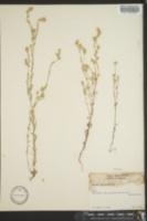 Micropus californicus image